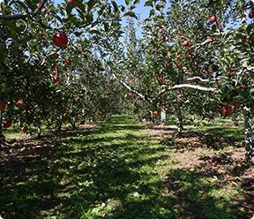 りんご狩り専用のりんご園