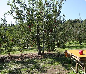 りんご狩りに最適なりんご園